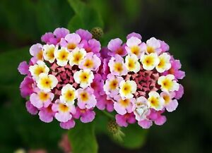 20 Seeds, Lantana camara, Mixed colors.