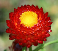 100 Red FIRE BALL STRAWFLOWER Helichrysum Flower Seeds