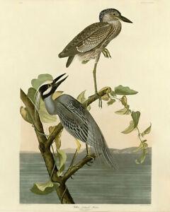 John Audubon Print - Yellow Crowned Heron