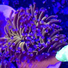 True Australian Gold Torch Coral rare Live Coral ultra reef tank
