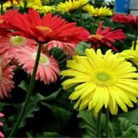 30pcs Bonsai Seeds Gerbera Daisy Hybrids Mix Flowers Home Garden Beautiful LJ