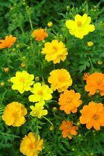 Flower - Cosmos - Carpet Formula - 50 Seeds #1534