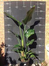 Plants Strelitzia Nicolai   300mm pots approx 80cm-1.1m hgt   $45-00 ea