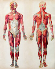 Vintage Human Muscular System Anatomy Medical Chart Real Canvas Art Print