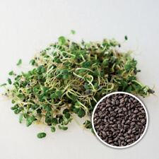 BASIL Green Organic Seeds for Sprouts or MicroGreens UK Stock
