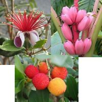 dreimal Obst für Wintergarten und Balkon: ERDBEER-BAUM, ANANAS und ROSA BANANE !