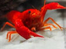 NEW! 🦀 BEAUTIFUL NEON RED🔥 Crayfish Lobster 🦀 BUY 2 GET ONE FREE!!🦀
