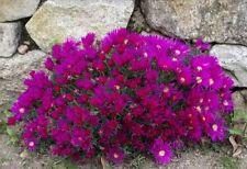 H3 (-5 to 1 ° C) Hardiness Summer Evergreen Seeds & Bulbs