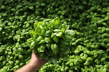 Genovese Basil,400 Certified Organic Seed USA GROWN 2018 85% germination rate