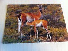 1999 Guanaco De La Patagonia Lama Guanicoe Llama Postcard Torres Del Paine New