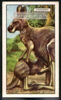Kangaroo Australian Marsupial c80 Y/O Trade Ad Card