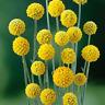Billy Buttons Seed Perennial Golden Globe Flower Drought Frost Seaside Tolerant