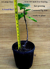 1 Fig tree Common Edible Extra large 12 to 14 inch+fast growing Ever bearing