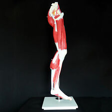 Human Anatomical Muscular Leg Model - Muscle System - Medical Anatomy Skeleton