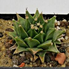 Kakteen – Kaktus – Obregonia denegrii - über 3cm