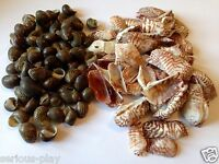 Assorted Sea Shells - Craft natural seashells Decorations Beach bag mixed Model
