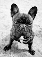 FRENCH BULLDOG DOG PUPPY BLACK WHITE PHOTO ART PRINT POSTER PICTURE BMP1880A