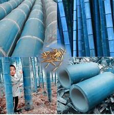 25 rari Semi di Bambù BLUE Gigante,Bamboo Phyllostachys Heterocycla,Bambusa