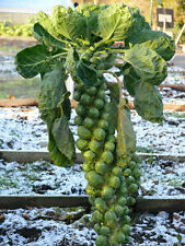 Cabbage Seeds Brussels Long Island Vegetable Seed from Ukraine. 250 SEEDS