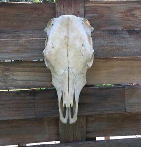 """STEER SKULL 8""""wide 19""""LONG, cow BULL Bovine taxidermy, big head decor western"""