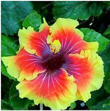 50 Pc Hibiscus Rosa-Sinensis Flower seeds hibiscus tree seeds Orange Fire