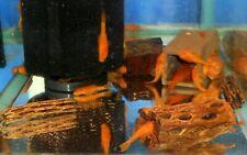 SUPER RED Bristlenose Pleco 1-1/2 inch+  Ancistrus sp Bushynose Plecostomus Live