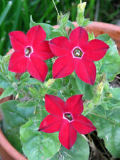 100 Red NICOTIANA CRIMSON KING Flowering Tobacco Seeds