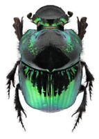 Phanaeus demon female ONE REAL GREEN SCARAB DUNG BEETLE