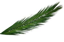 Palmwedel, Palmenwedel, Palmblatt, Palmenblätter, Palmzweige, konserviert, Natur