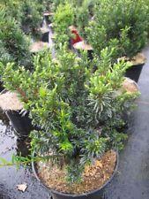 Taxus baccata Minima - kleine Zwergeibe