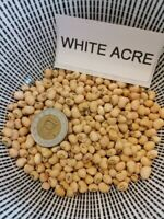 White Acre Augenbohne - Cowpea 10+ Samen - Saatgut Seeds ERTRAGREICHE RARITäT!