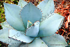 RARE AGAVE TITANOTA BLUE @ hardy exotic succulent aloe rose plant seed 15 SEEDS