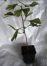 Árbol de culantrillo, plantas árbol de ginkgo biloba 30 - 40 Cm Inc. Olla. x 2