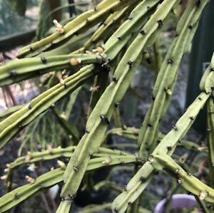 Rhipsalis Pentaptera Wide R32 (8-10cm Cutting) Epiphyllum Cactus