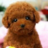 Realistic Teddy Dog Simulation Toy Dog Puppy Lifelike Toy Stuffed AU P7O2