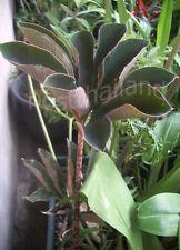 Bulb of AMORPHOPHALLUS ATROVIRIDIS Aroid Plant + FREE Phytosanitiary Certificate