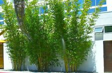 100+ Fresh Weavers Bamboo Seeds with instructions - Bambusa Textilis