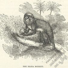 Diana Monkey: antique 1866 engraving print - primate picture art nature wildlife