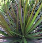 BLACK KNIGHT DRACAENA Marginata Madagascar Dragon Tree plant in 200mm pot