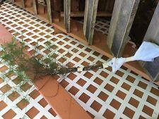 "Smokey Mountain Grown(3)WHITE PINE TREES 20""- 24inch STARTER SEEDLINGS Ref#REG."