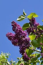 Lilac Bush Flowering Plant Journal : 150 Page Lined Notebook/Diary by C. S.