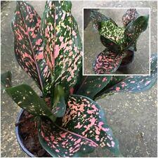 Aglaonema Plant Rap Ngoen Pink-Green Leaves Chinese evergreens King Of Foliage