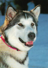 Polarhund * Schlittenhund * Husky * Malamute * DOG * Postkarte  Postcard  # 32