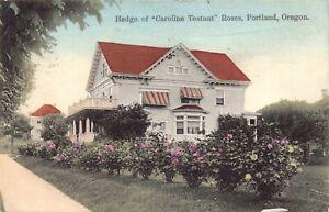 Hand Colored Postcard Hedge of Caroline Testaut Roses in Portland, Oregon~127918