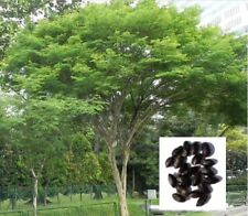 Leopard Tree Brazilian Ironwood Plant Fresh Seeds 12+
