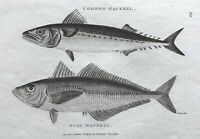 1803 Shaw SCARCE COPPER PLATE ENGRAVING Common & Scad Mackrel EXCEPTIONAL Fish