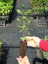 PISTACIA TEREBINTHUS  1 PIANTA IN ALVEOLO FORESTALE pistacchio selvatico