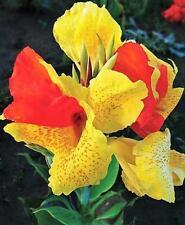 2 Dwarf Canna Lily - Cleopatra - Bulbs/Roots/Rh<wbr/>izomes/Tubers/<wbr/>Plants