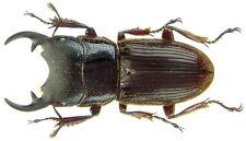 Insect - Aegus lunatus - Sumatra - Male 13mm+ ....!!