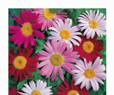 daisy, Painted, Giant Robinsons Perennial Pyrethrum, 33 seeds! GroCo Us Usa